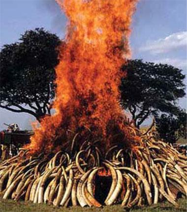 1989 The Kenyan government burns 12 tonnes (2 000 tusks) of its ivory stockpile as a public statement against the trade.