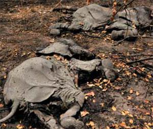 2012 • In February the massacre of several hundred elephants in Cameroon's Bouba N'Djida National Park causes an international outcry, alerting many to the poaching crisis across Africa.