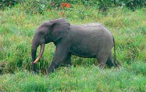 As CoP gets underway, the Public Library of Science publishes the results of the largest-ever survey of forest elephants. It shows that a staggering 62 per cent of the total population has been killed for their ivory in the past decade.