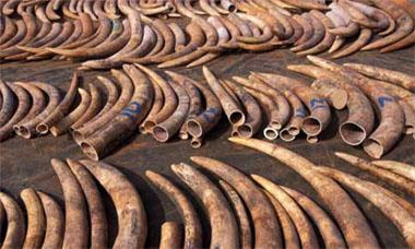 A haul of Ivory that was confiscated In Singapore and returned to Tsavo East National Park, Kenya.