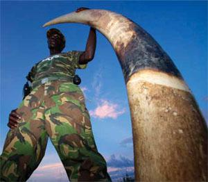 A ranger holds the tusk of an elephant poached in the DRC's Garamba National Park, a reserve hard hit by militias in search of blood ivory.
