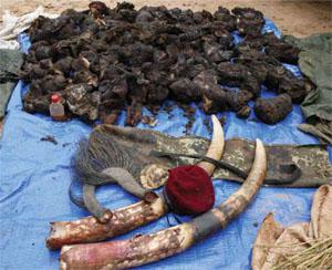 Bushmeat, ivory and skins ... the spoils of a raid on a poachers' camp in Garamba.