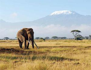 Tanzania holds by far the majority of East Africa's elephants - around 80 per cent - and the second-largest savanna population after Botswana. Most of its elephants occur in the Ruaha-Rungwa and Selous ecosystems.