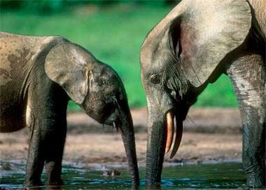Forest elephants. The dense tusks of these elusive pachyderms, which Inhabit the rainforests of West and Central Africa, are In regular demand on the Japanese market.