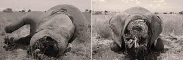 One day later, three more elephants - Qumquat (centre) and her two daughters (one is pictured above) - lie dead in the East African savanna. The poachers got their ivory - but the cost of this tragedy goes far beyond statistics.